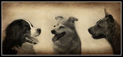 One for All, All for one (patrick.verstappen) Tags: rusty max daiko dogs pet collage animals sepia photo picassa pinterest pat picmonkey portrait ipernity ipiccy yahoo nikon d7100 belgium sigma summer gingelom google garden flickr facebook