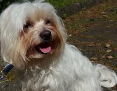 (S.Hence :-) Germany) Tags: summer dog white love eyes sommer hund paws augen sonne weiss fell liebe nofilter norain spaziergang havanese 2016 flauschig aufmerksam brav wärme havaneser ohnefilter