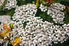 Schafgarbe (Rüdiger Stehn) Tags: asternartige asterales korbblütler asteraceae asteroideae anthemideae schafgarben achillea gemeineschafgarbe achilleamillefolium blüte blume pflanze gewöhnlicheschafgarbe asteriden euasteriden käfer coleoptera polyphaga glanzkäfer nitidulidae meligethinae brassicogethes rapsglanzkäfer brassicogethesaeneusgliederfüser arthropoda sechsfüser hexapoda fluginsekten pterygota neuflügler neoptera 2016 2000er 2000s europa mitteleuropa deutschland germany norddeutschland schleswigholstein altenholz altenholzstift nahaufnahme makros brachland