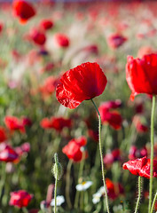 Impresionar (Agustina Santervs) Tags: primavera rojo agustina amapolas impresionar