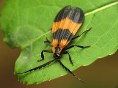 Banded Net-winged Beetle (treegrow) Tags: nature insect beetle maryland arthropoda coleoptera serc calopteronreticulatum lifeonearth raynoxdcr250 lycidae taxonomy:binomial=calopteronreticulatum canonpowershotsx40hs