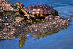 turtle (bilal gldoan) Tags: original wild reflection water animal rock natural outdoor turtle live trkiye tortoise su yeil glge hayvan doal