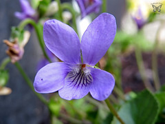 Blue Violet (Swallowtail Garden Seeds) Tags: blue flower macro violet viola perennial sweetviolet violaodorata swallowtailgardenseeds