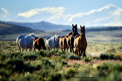 RACING TO THE WATERING HOLE (Aspenbreeze) Tags: sunset animal mare wildlife colt wildhorses stallion wildhorse wildstallion coloradowildlife ruraloutdoors aspenbreeze moonandbackphotography bevzuerlein sandwasbasinwillhorserefuge