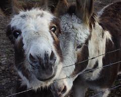 Curious donkeys (Machiel Taal) Tags: wandelen dieren thegalaxy