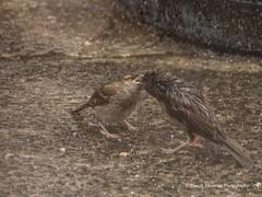 Feeding time in the Wind & Rain8 (Gareth Lovering Photography 3,000,594 views.) Tags: birds garden feeding wildlife feeder starling olympus sparrow 75300mm lovering em1 garethloveringphotography