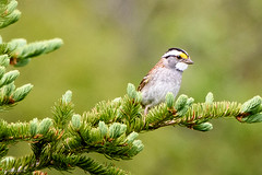 White-throated Sparrow, Merrymeeting Road, Ferryland (frank.king2014) Tags: ca canada whitethroatedsparrow aquaforte newfoundlandandlabrador