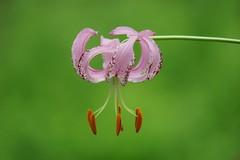 """リリウム・ランコンゲンセ/Lilium lankongense (nobuflickr) Tags: flower nature japan botanical kyoto 日本 花 """"the garden"""" 京都府立植物園 lankongense awesomeblossoms ユリ科ユリ属 liliumlankongense リリウム・ランコンゲンセ 20160625dsc03559 リリウム・ランコンゲンセlilium"""