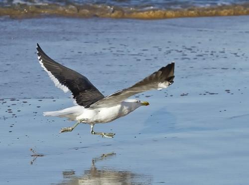 Kelp Gull lift off _1780