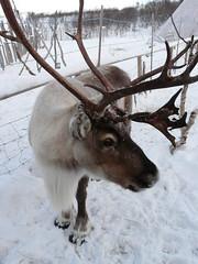Rennes (benontherun.com) Tags: norway reindeer norge lappland north norwegen lapland ren noruega reno caribou nord renne norvege finnmark kirkenes laponia  laponie