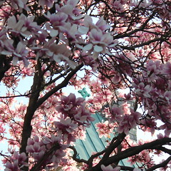 Through the Magnolias: The Cross on the Steeple. (marylea) Tags: pink flowers catholic michigan blossoms may annarbor magnolia catholicchurch blooms 2013 stthomasaa stthomastheapostlecatholicchurch