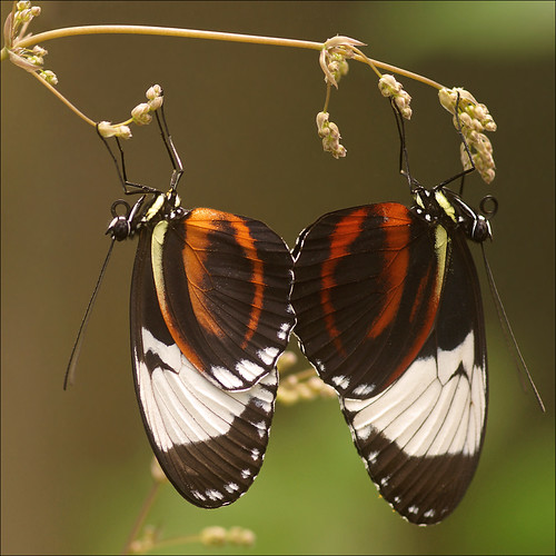 Mating Cydno Longwing [Explored]