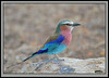 The Roller Stone. (Rainbirder) Tags: kenya ngc npc masaimara lilacbreastedroller coraciascaudatus rainbirder