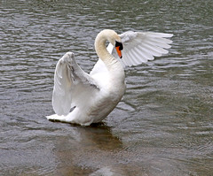 Down Draught (Trev Earl) Tags: water canon wildlife buckinghamshire swans wildbird 50d