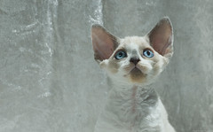 Mutch Colder (peter_hasselbom) Tags: portrait cats cat 50mm kitten blueeyes flash kittens litter devonrex 10weeksold 2flashes sirex bluesiamesepointedwithwhite