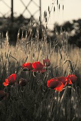 (Norma07) Tags: natura poppies rosso papaveri molise coquelicots