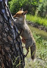 La volpe e... (sermatimati) Tags: sea italy parco holidays italia mare tuscany toscana pino vacanze maggio maremma beachholiday volpi uccellina toscanatus