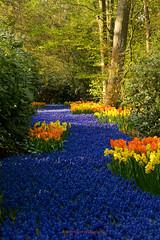 flower river (dewollewei) Tags: flowers spring lente keukenhof lisse
