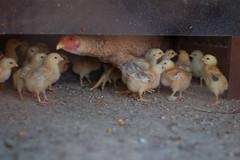 Galinha e suas crias (michele mamede) Tags: galinha criao biketrip pintinhos generalsalgado junho2013
