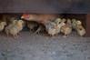 Galinha e suas crias (michele mamede) Tags: galinha criação biketrip pintinhos generalsalgado junho2013