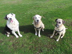Shepo, Lucy and Punchkin (Rayya The Vet) Tags: dog goldenretriever vet canine australianshepherd dogwalk fostering twitter whippetcross