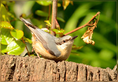 Garden Nuthatch 2 (bobspicturebox) Tags: flowers trees red kite nature robin birds clouds geese ducklings starling sparrow poppies rowan nuthatch greylag gosslings migies