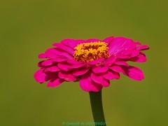 Fleur Rose (Gwenolé de KERMENGUY) Tags: de marin artiste gwenole kermenguy