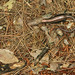 Five-lined Skink (Gravid Female)