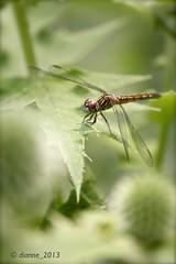 Dragonfly_2539 (comeback_special) Tags: summer toronto ontario nature gardens canon outdoors eos highpark dragonflies dragonfly bokeh gardening parks recreation