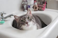 theodore in the sink (jojoannabanana) Tags: cat bathroom sink tabby