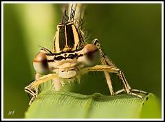 Zygoptera (JPF Photos) Tags: macro nature closeup canon insect close natural insectes macrophotography zygoptera macrophotographie