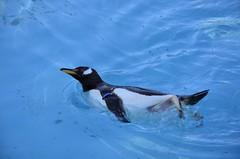 Penguin (...Ola_S...) Tags: penguin norge bergen hordaland pingvin nikond7000