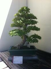 bonsai (Wandering Juan) Tags: museum dc washington arboretum national bonsai penjing