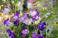 Canterbury Bells (Jo-Lee Photography & Art) Tags: flowers color yellow bells garden purple bokeh september bouquet setting staged campanula canterburybells desertwillow splashy chocolateflowers ajumbleofcolor