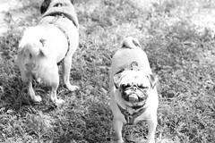Pugs (redcomet@swbell.net) Tags: dog cute dogs fun outside funny pug pugs