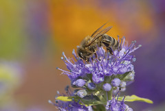 IMG_7341 (brigitteblaettler) Tags: summer colors ngc honeybee bluebeard bartblume specanimal