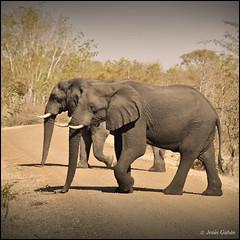 Elefantes en el camino. Mahango Game Reserve (Jesús Gabán) Tags: elephants namibia elefantes loxodontaafricana mahango jesusgaban