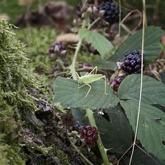 DSCF6485 copy (myrtlemount) Tags: trees forest moss grasshopper blackberries sherwood