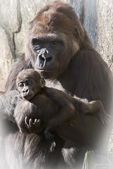 Mother Jamani Gorilla Holds Bomassa (Zoo Much Information) Tags: usa baby nature animals holding gorilla wildlife motherchild apes westernlowlandgorilla nurturing jamani bomassa bomassagorilla