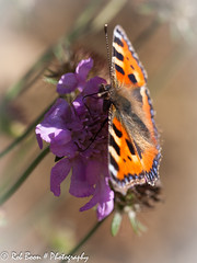 20130915_6833_Vlinder (Rob_Boon) Tags: macro butterfly insect tuin vlinder robboon