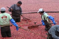 IMG_9723 (AtHandGuides.com) Tags: festival ma massachusetts harvest celebration cranberry cranberries mass bog wareham makepeace admakepeace