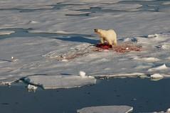 Polar bear with seal kill (David Nunn) Tags: ocean bear sea ice norway circle kill svalbard arctic polarbear cap seal polar bearded spitsbergen ursus spitzbergen ursusmaritimus maritimus