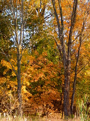 Fall foliage (Dendroica cerulea) Tags: autumn trees newjersey nj foliage highlandpark middlesexcounty donaldsonpark