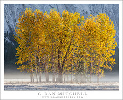 Autumn Cottonwood Trees, Meadow, Fog (G Dan Mitchell) Tags: california park morning travel autumn trees cliff usa mist mountain fall nature yellow fog america season print landscape golden stand frost grove nevada low north stock scenic meadow sierra national valley yosemite cottonwood license granite range ahwahnee vision:text=0574 vision:plant=0702 vision:outdoor=0744