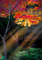 Autumn sun rays peeking through golden-red Japanese maple leaves (dfikar) Tags: park autumn trees light red sun sunlight color tree green fall nature leaves sunshine mystery rural forest season outdoors maple ray branch berries bright foliage backgrounds environment botany sunbeam beams