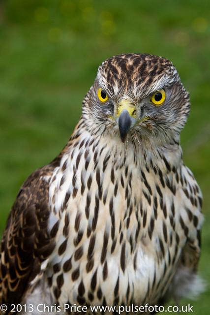 PF0297 Sparrowhawk.jpg
