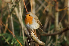Robin (Rovers number 9) Tags: england robin birds december sony lancashire a77 2013 minoltaaf135mmf28 rspbleightonmoss sonya77 dec2013
