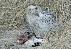 Snowy Owl eating Common Eider - Nauset- 1/1/14 (petertrull) Tags: elements