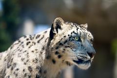 Assam again (Cloudtail the Snow Leopard) Tags: assam zoo karlsruhe tier animal säugetier mammal cat katze feline big grosskatze raubkatze beutegreifer raubtier schneeleopard snowleopard irbis panthera uncia cloudtailthesnowleopard