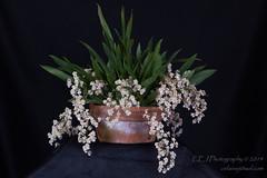 Twinkle 'Maritzal' (celainej) Tags: orchid coral gardens twinkle tropical botanic judging gables oncidium society fairchild aos onc davison melana cheirophorum ftbg sotoanum maritzal